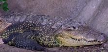 Bredsnudet krokodille