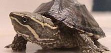 Moskusskildpadder