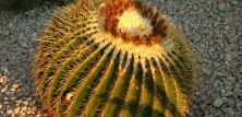 Sukkulenter - Kaktus