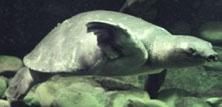 New Guinea-blødskildpadder