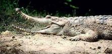 Falsk gavial