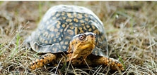 Nye Verdens Sumpskildpadder