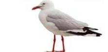 Mågevadefugle
