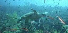 Havskildpadder