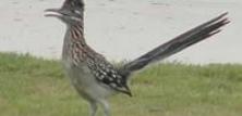 Gøgefugle