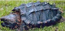 Snapskildpadder