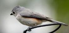 Fugle-identifikation