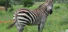 Heste, æsler og zebraer